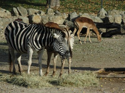 Damarazebra und Impalas