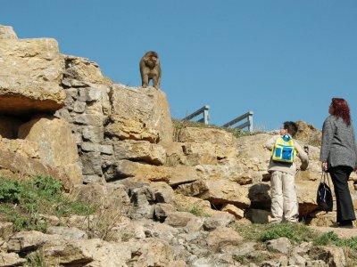 Berberaffe mit Besuchern