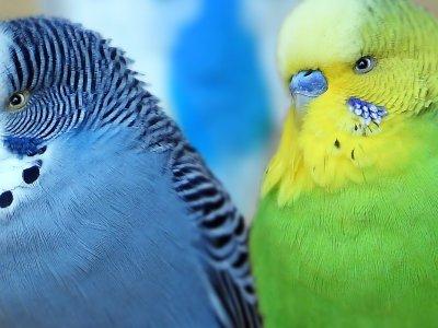 Wellensittich Farbform blau-grau und grün-gelb