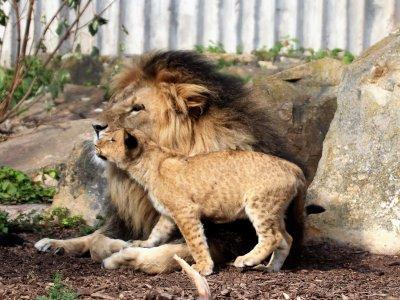 Löwe mit Nachwuchs