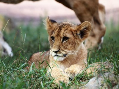 Löwenjungtier