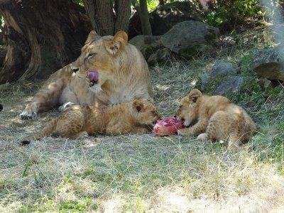 Löwenmutter und Jungtieren