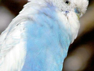 Wellensittich Farbform blau-weiss