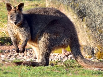 Sumpfwallaby