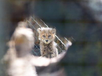 Geparden Jungtier 2019