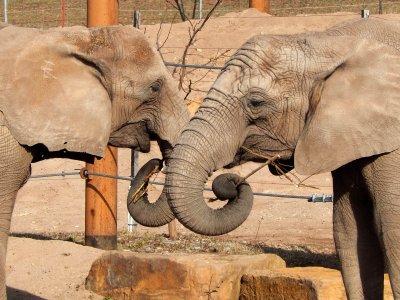 Afrikanischer Elefant